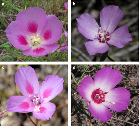 Variant spots in different species of Clarkia