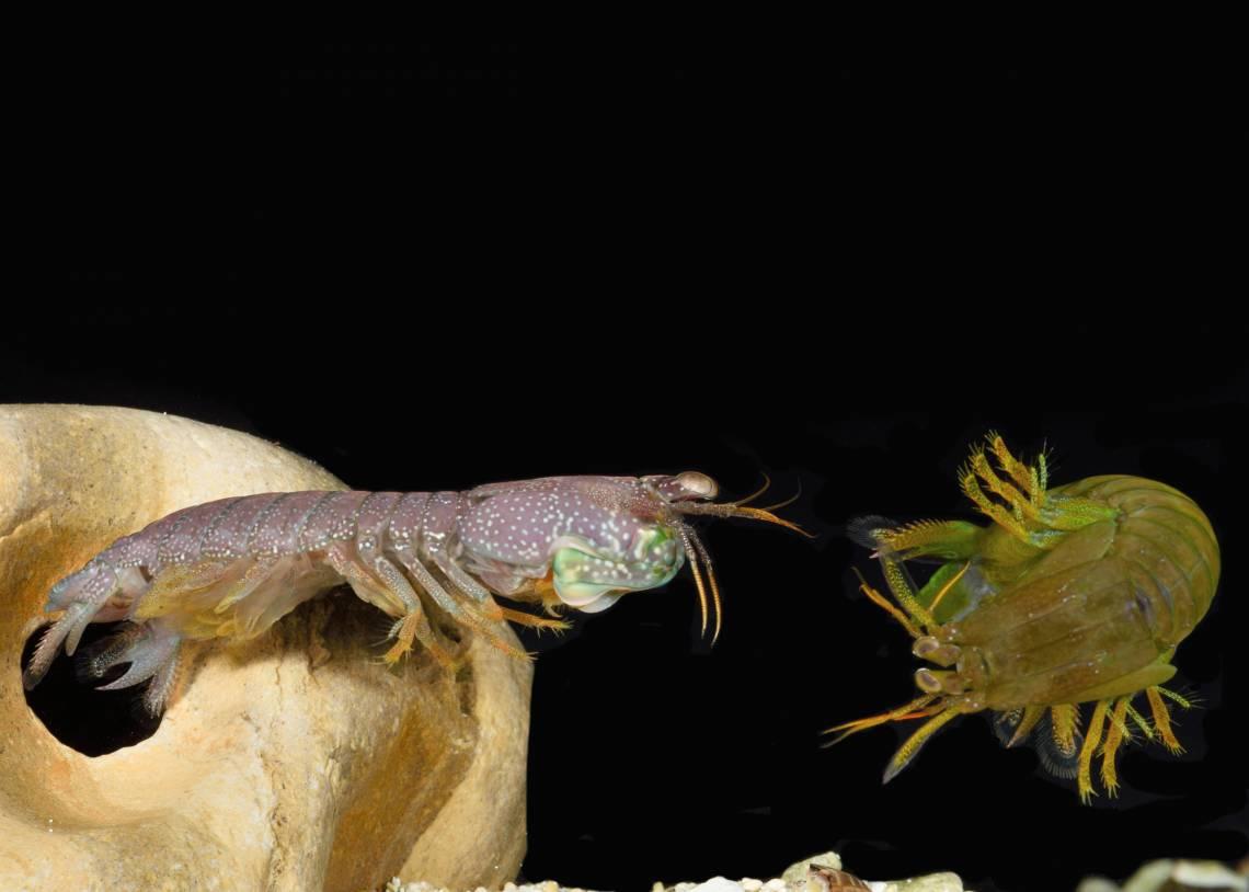 Mantis shrimp male resident lunge at female intruder