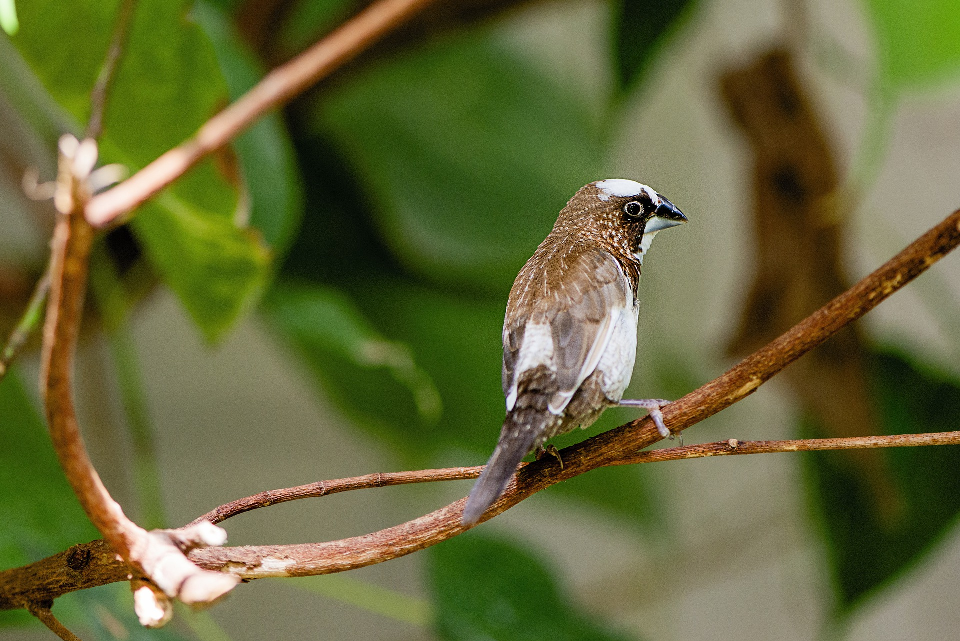 Bengalese finches, a brown, black and white bird, can't distinguish orange from red
