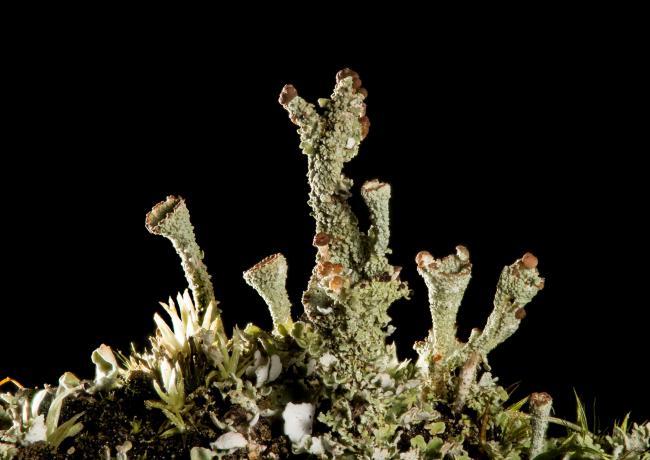 Gray's Cup Lichen