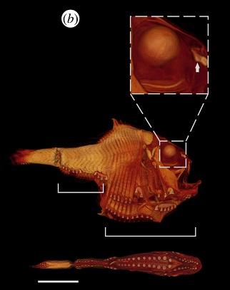 Hatchetfish